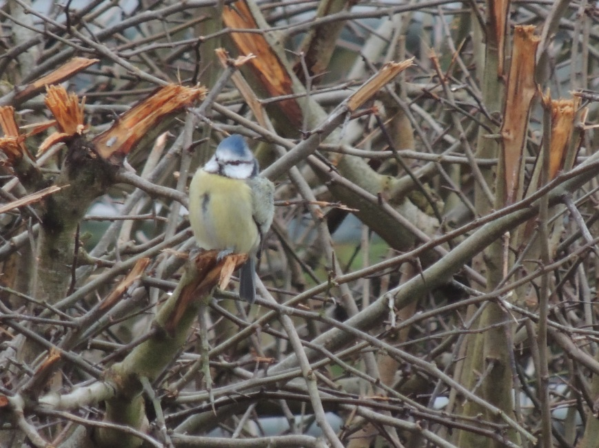 14_02_2015 Blue Tit in the Hawthorn Bushes