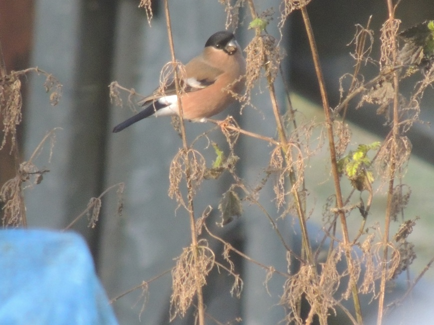 14_02_2015 Bullfinch in the Hawthorn