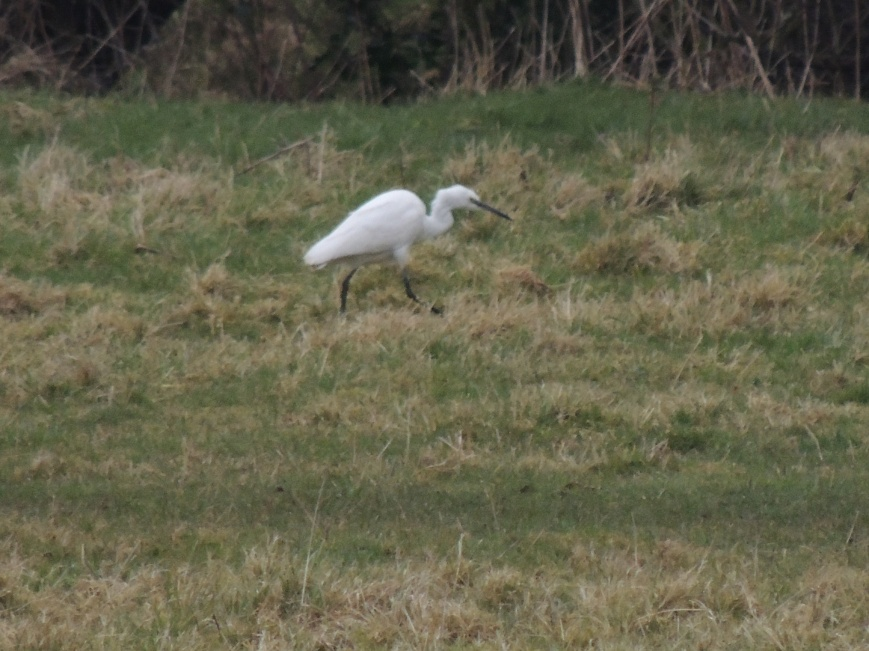 14_02_2015 Egret walking across the meadow