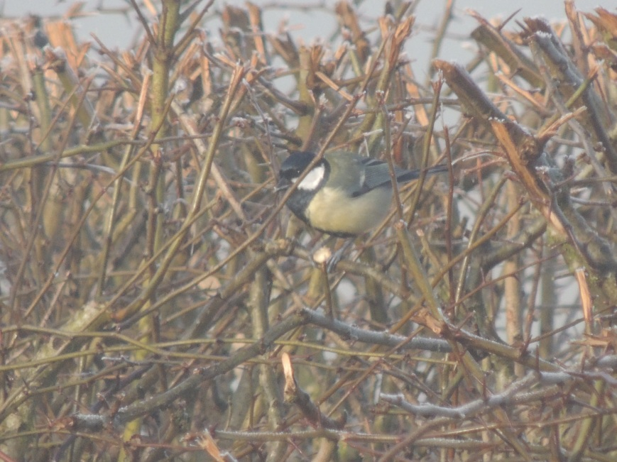 14_02_2015 Great Tit in the Hawthorn bushes that will be removed should development go ahead
