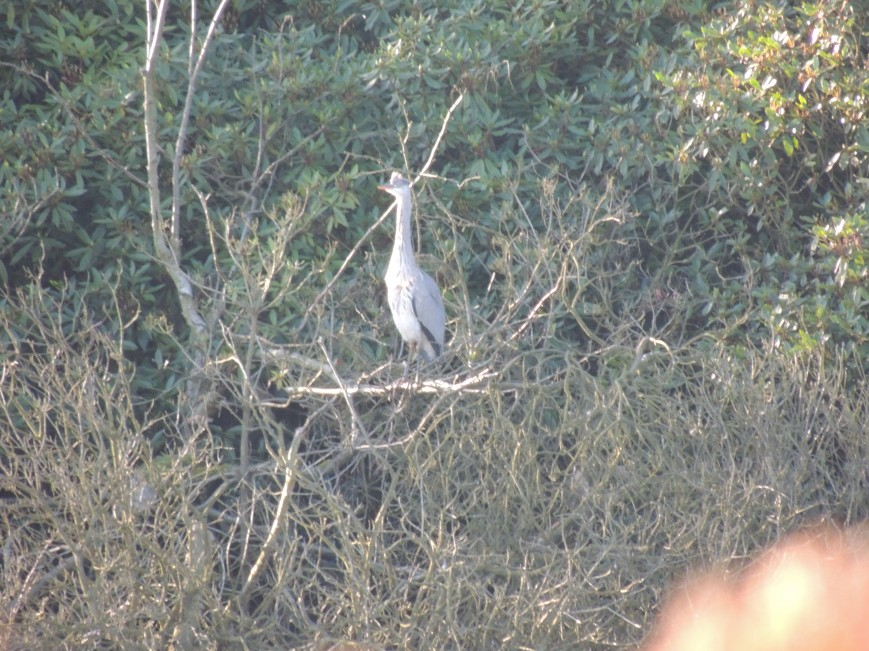 14_02_2015 Heron in the tree