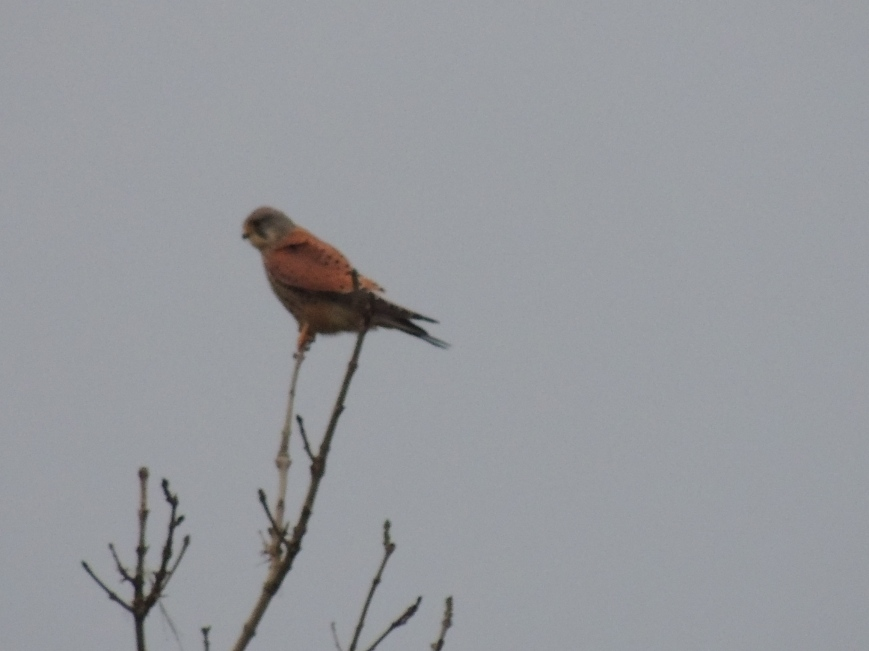 14_02_2015 Kestrel resting in the field