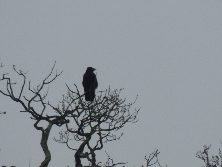 14_02_2015 Rook on the Oak Tree that has a  preservation order