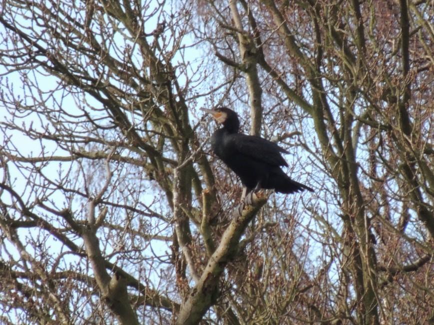 14_02_2015 Visiting Cormorant