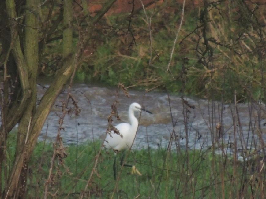 14_02_2015 Visiting Egret